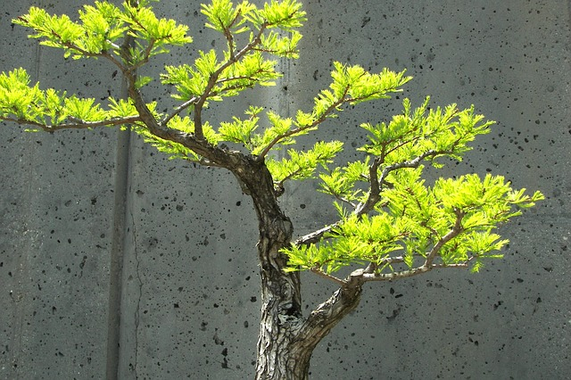 bonsai, tree, small